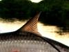 campeche-tarpon-fish38