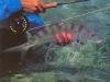 cuzan-fish12