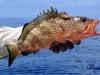 jc-fish22