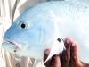 mh-fish06