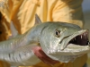 pesca-maya-fish12