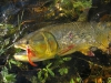 pira-flyfishing-dorado035