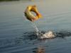 pira-flyfishing-dorado043