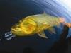 pira-flyfishing-dorado047