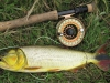 pira-flyfishing-dorado055