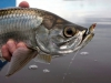 rio-lagartos-tarpon-fish11