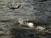 rio-lagartos-tarpon-fish16