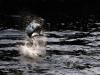 rio-lagartos-tarpon-fish21