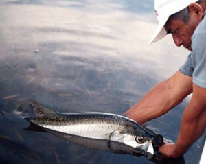 Campeche Tarpon, a fly fishing lodge ion the northern Yucatan that specializes in fly fishing for tarpon.
