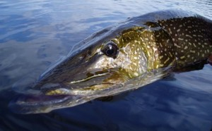 Fly Fishing for northern pike at Milton Lake Lodge